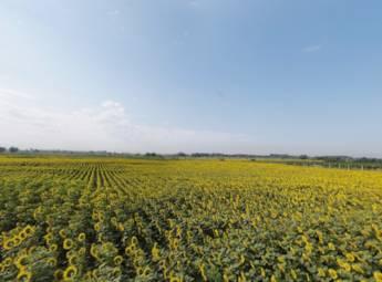 新疆乌鲁木齐向日葵