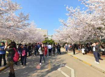 同济大学杨浦校区樱花