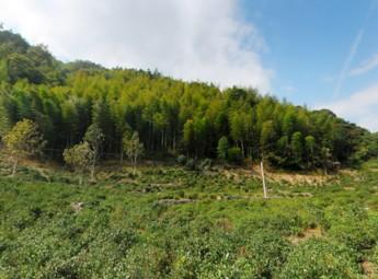 一茗堂茶叶基地——桐木关正山小种